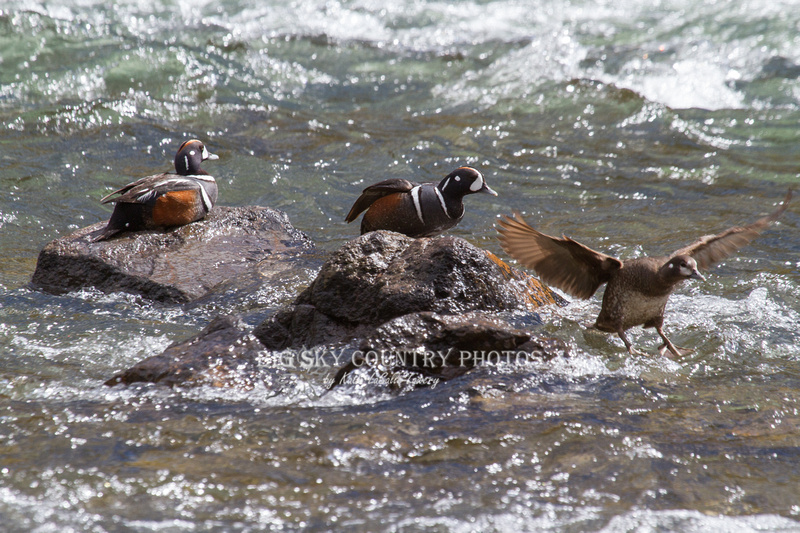 two male and one female harlequin duck at LeHardy Rapids - female launching off a rock