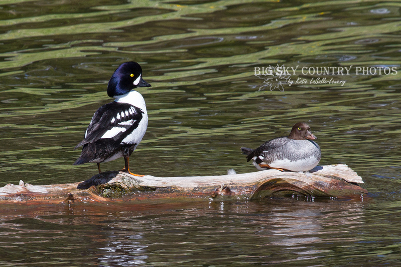 pair of Barrow's goldeneyes - male and female - on a log in a lake