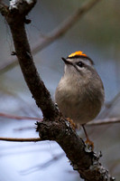 Golden-crowned Kinglet May 2014