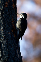 Black-backed Woodpecker - Male - Lolo Burn Area 5