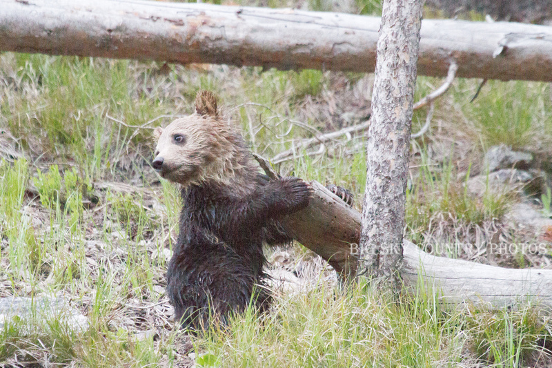 grizzly bear cub hugging fallen log and looking back over his shoulder