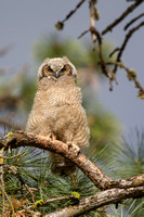 Great Horned Owl Fledgling -3