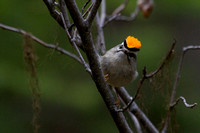 golden-crowned kinglet flashing his crown