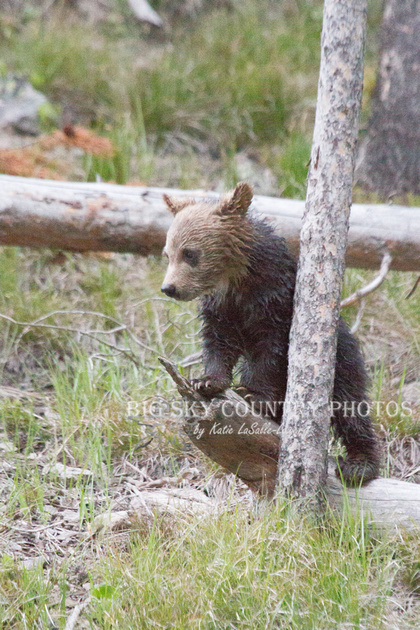 grizzly bear cub exploring his surroundings
