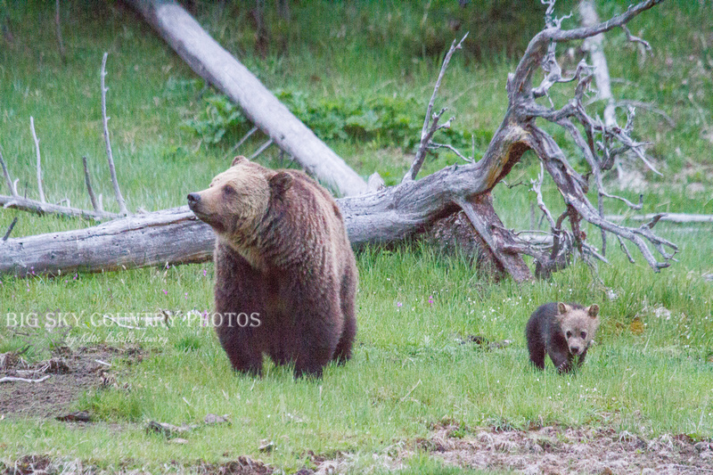 mama and cub grizzly bears