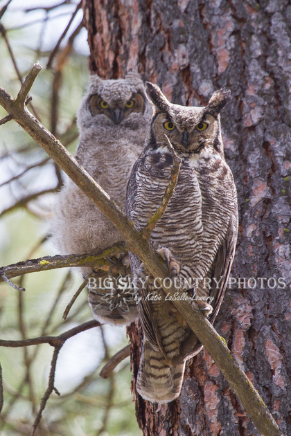 great horned owl adult and owlet