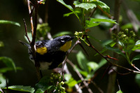 Audobon's Yellow-rumped Warbler - male 3