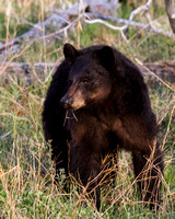Elk Creek Black Bear Family 10