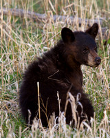 Elk Creek Black Bear Family 16
