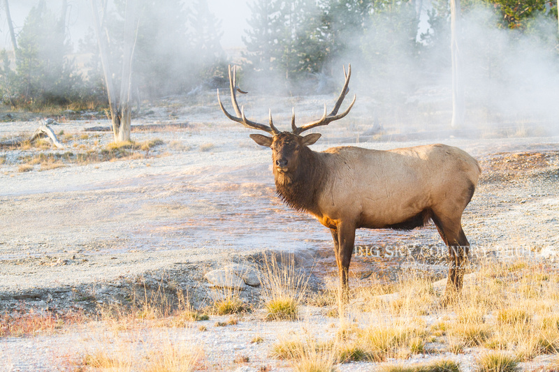 A bull elk poses surrounded by steam from hydrothermal features at the West Thumb Geyser Basin in sweet sunrise light.