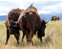 sub-adult bison attempting to nurse from cow bison mother