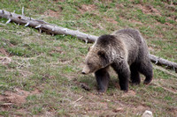 Grizzly Bear Stroll 9