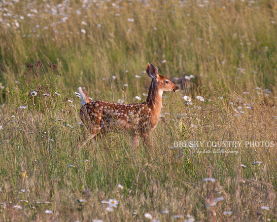 a white tail deer fawn with a spotted coat in a field of oxeye daisies