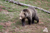 Grizzly Bear Stroll 11
