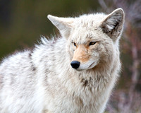 A coyote in a thick winter coat
