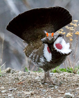 dusky grouse male in courtship display with air bladders inflated and eye combs raised and vibrantly colored