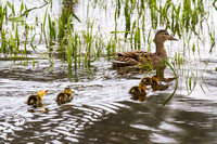 Mama Mallard and Her Brood 3