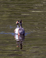 Dance of the Grebes 2
