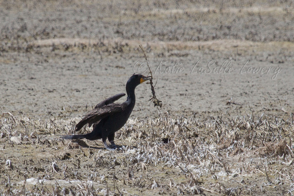 A double-crested cormorant, retrieving nest-making material -- one of many such so occupied on a late April day at Freezeout Lake.