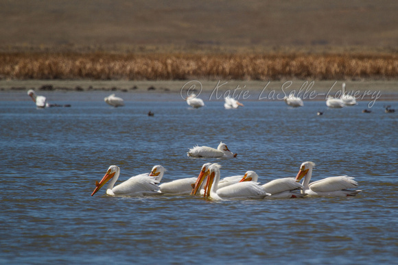 American white pelicans gathered 'round for a group fish herding / hunting expedition.