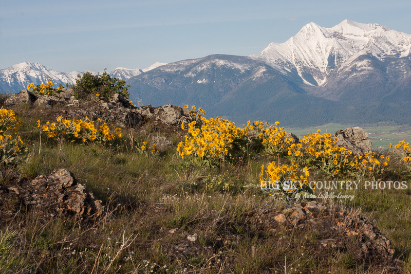 The slope of Red Sleep Mountain at the National Bison Range blanketed with arrowleaf balsamroot against the backdrop of the Mission Mountains