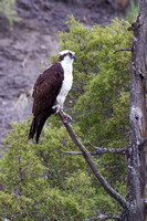 Eagle-eyed Osprey 1