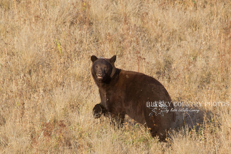 brown-colored black bear