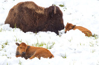 Bison in Fresh Spring Snow