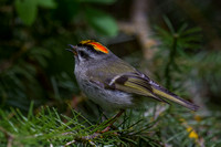 Golden-crowned Kinglet - Male 5