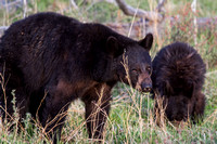 Elk Creek Black Bear Family 11