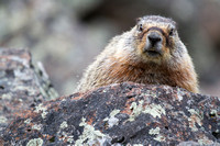 Sheepeater Cliff Marmot 3