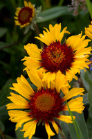 Blanket Flower Crop