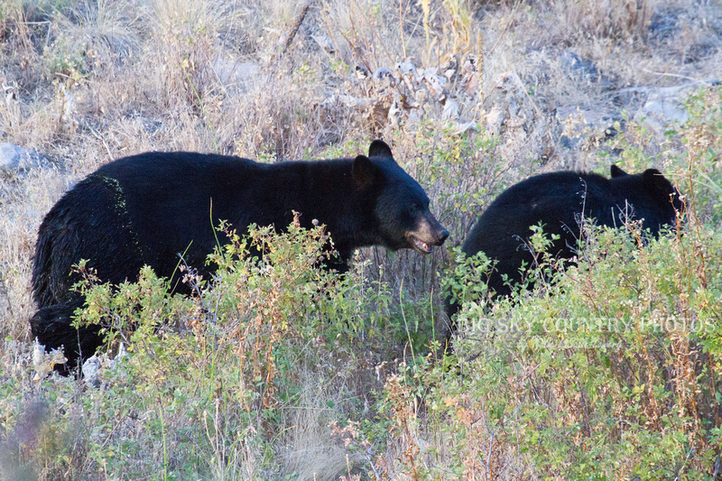 a black bear sow ushers her cub away from a black bear gather at a watering hole