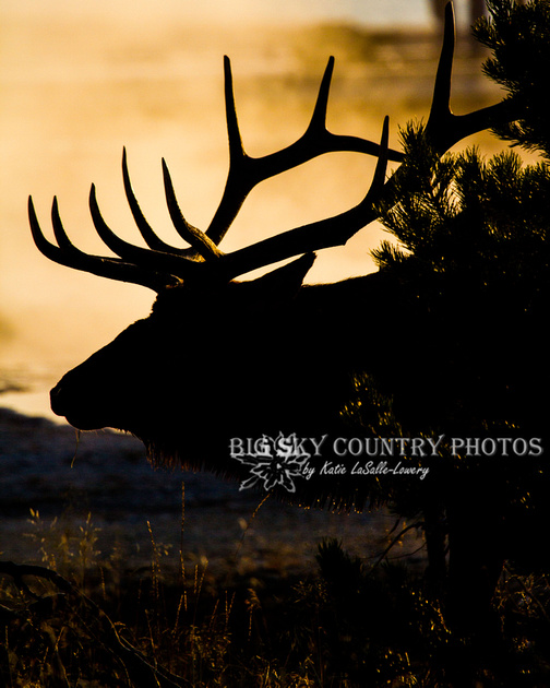 A bull elk silhouetted against a steam plume lit and colored by the rising sun - West Thumb Geyser Basin