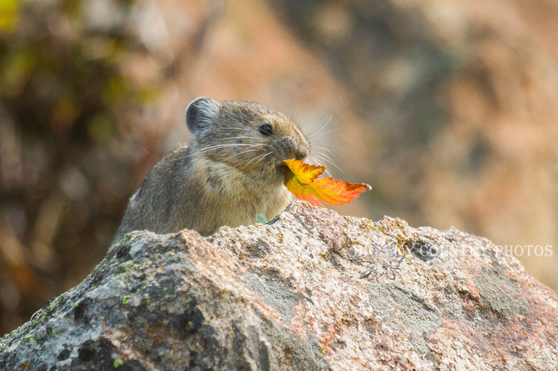 A pika eats a fiery red currant leaf