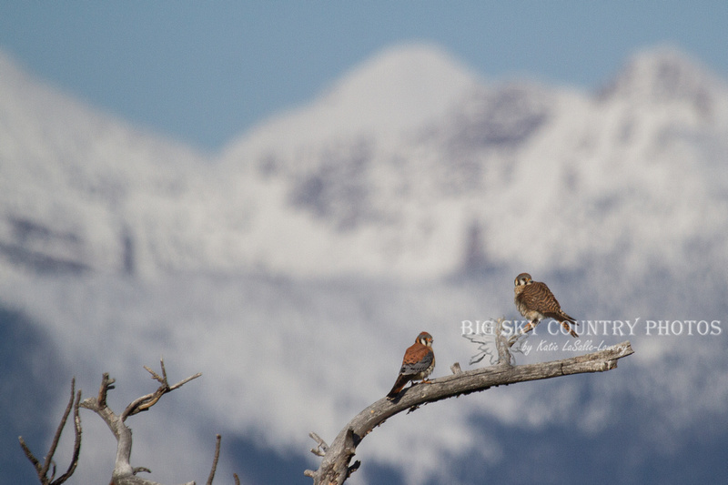 pair of courting American kestrels