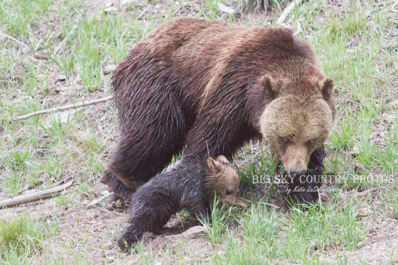 grizzly bear mama and cub seeking comfort
