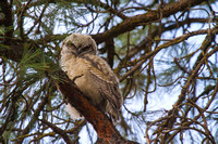 Great Horned Owl Fledgling -6