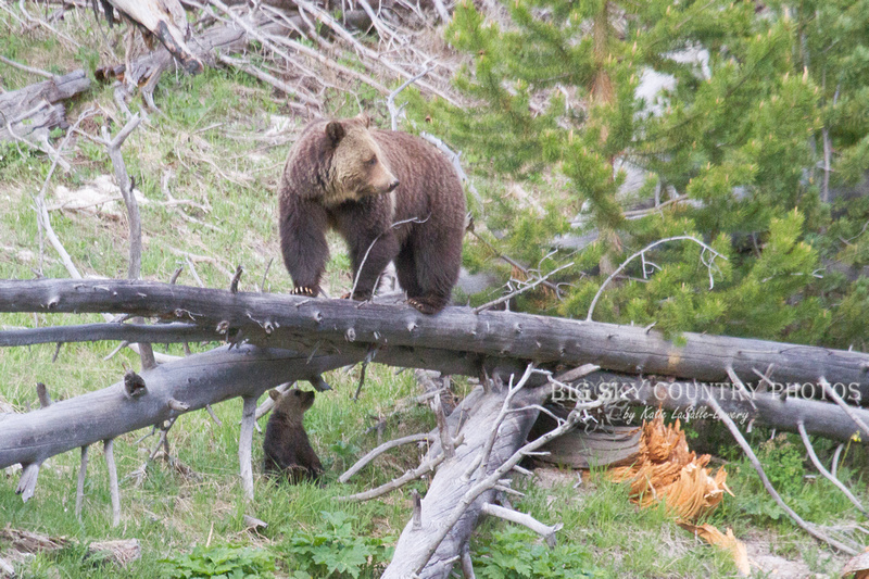 grizzly bear sow standing on elevated log with cub beneath, looking behind her for cub