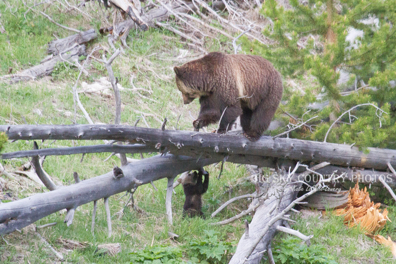 mama grizzly bear looking down at her cub that is beneath the elevated log on which she stands