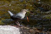 Ouzel - American Dipper - Greenough Park April 2014