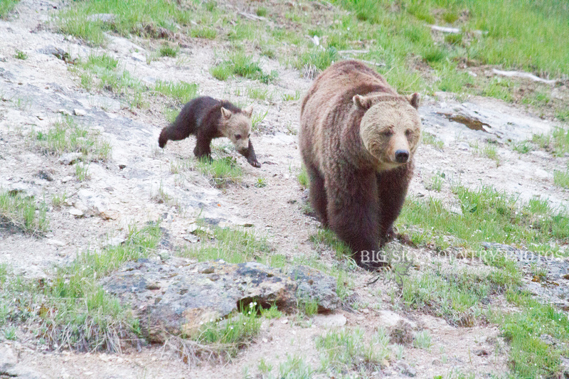 grizzly sow with cub trailing behind her