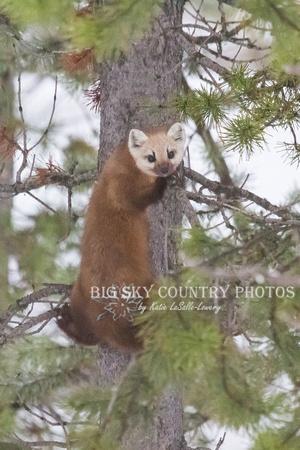 pine marten climbing a tree trunk