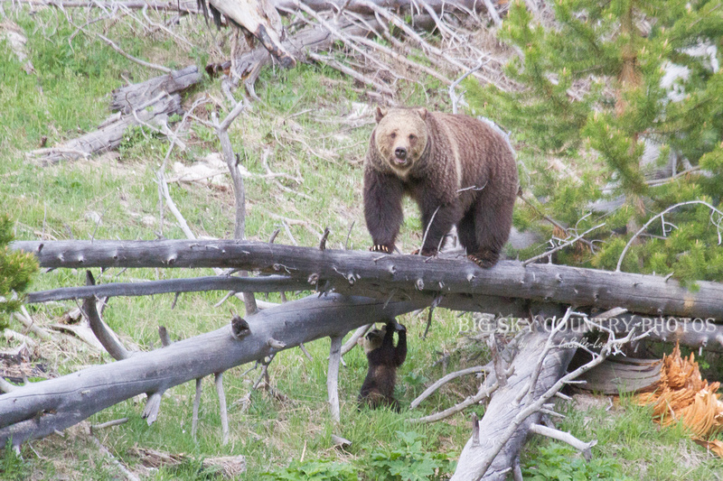 grizzly sow on fallen log with cub standing up under log