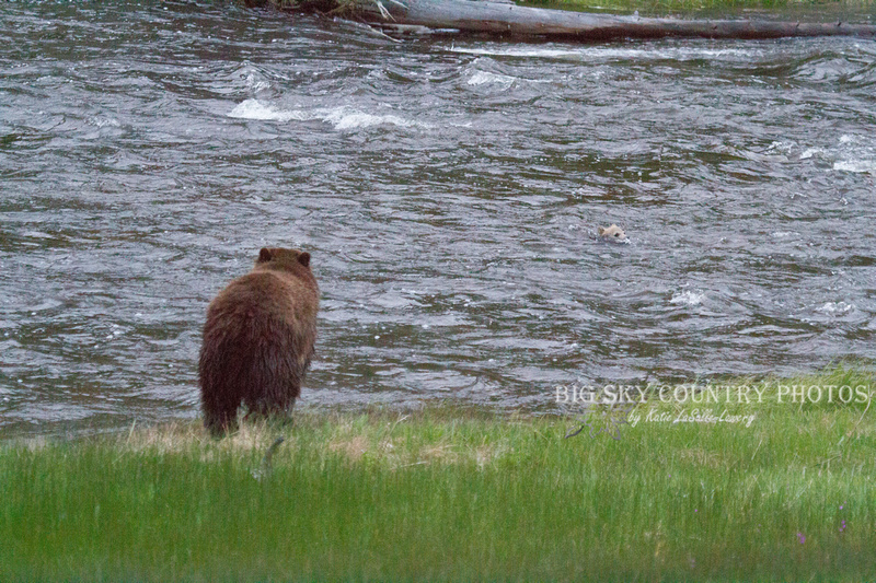 grizzly sow rushes in to river in which her cub is being swept downstream in current