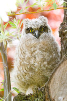 Great Horned Owl Fledgling -11