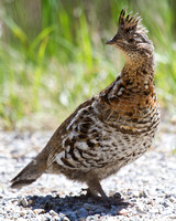 Ruffed grouse on a roadside