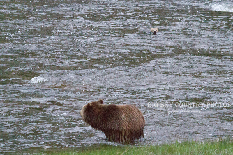 grizzly bear cub caught in the current of the Gibbon River