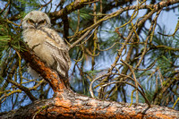 Great Horned Owlets & fledglings - various nest sites