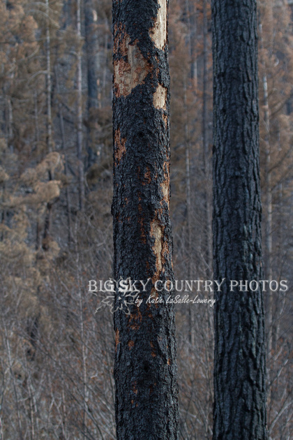 charred tree trunk with bark flaked off by black-backed woodpeckers hunting beetles